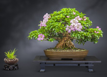 Bonsai Alte Blühende Japanisc...