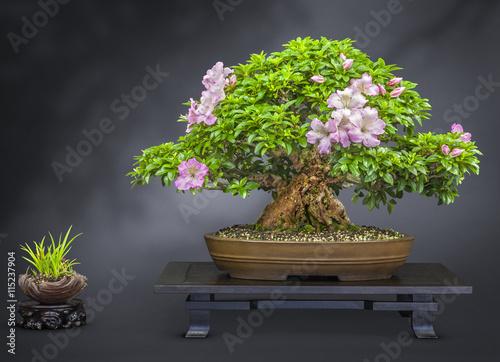 Aluminium Prints Bonsai Bonsai alte blühende Japanische Azalee
