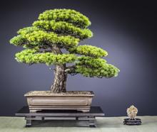 Bonsai Alte Japanische Mädche...
