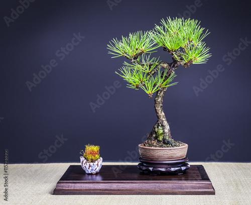 Bonsai Japanische Schwarzkiefer