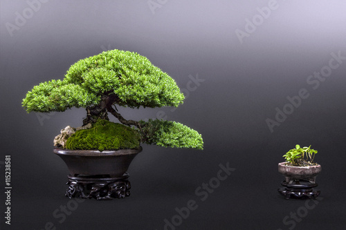 Bonsai Wacholder