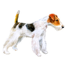 Watercolor Closeup Portrait Of Cute Wire Fox Terrier Breed Dog Isolated On White Background. Shorthair Small Hunting Dog Posing At Dog Show. Hand Drawn Sweet Home Pet. Greeting Card Design. Clip Art