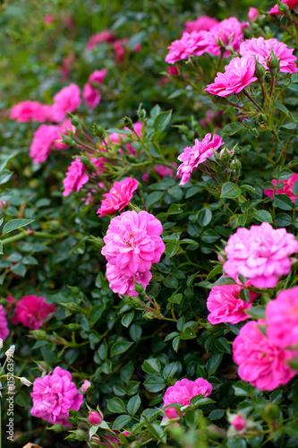 Photo sur Toile Dahlia beautiful pink roses