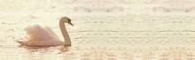 Beautiful Swan Banner