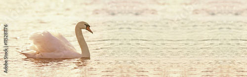 Fotografie, Obraz Beautiful swan banner