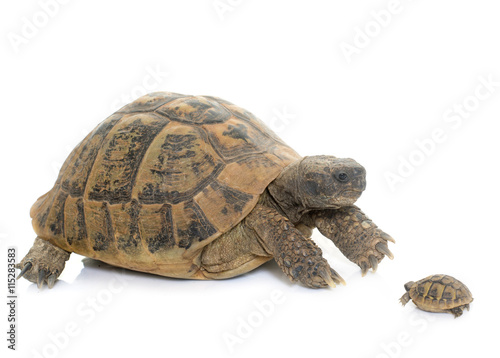Tortue Hermanns Tortoise and baby turtle