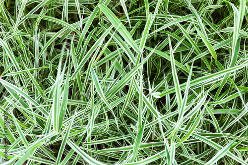 Fotografie, Obraz  green blades of decorative Carex grass