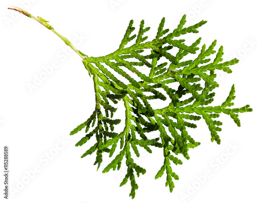 green twig of thuja orientalis plant isolated Wall mural