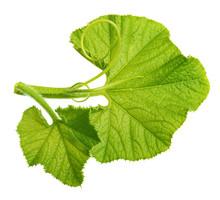 Green Pumpkin Leaf Isolated
