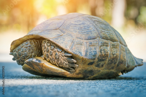 Foto op Aluminium Schildpad turtle hiding in shell on the road