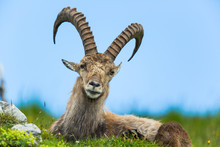 Natural Alpine Ibex Sitting In...