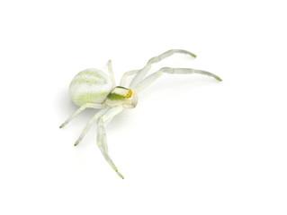 The goldenrod crab spider Misumena vatia isolated on white background