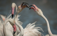 Fighting Flamingoes