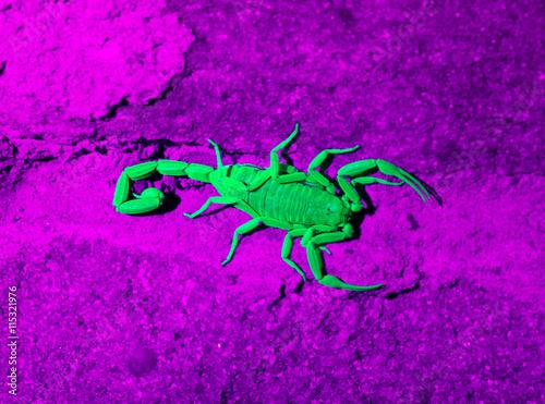 Arizona bark scorpion Arizona bark scorpion in ultraviolet