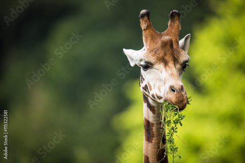 obraz lub plakat Giraffe (Giraffa camelopardalis) on green background