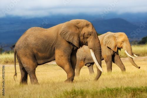 fototapeta na lodówkę African Elephant bull with Elephant cow in the background in Amboseli National Park, Kenya