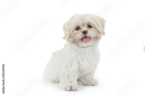 Foto  jeune chien shih tzu beige blanc
