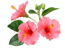 Pink Hibiscus On White Backgro...