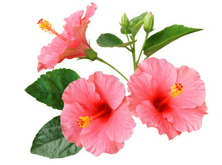 Fototapeta Egzotyczne Pink Hibiscus on white background with path