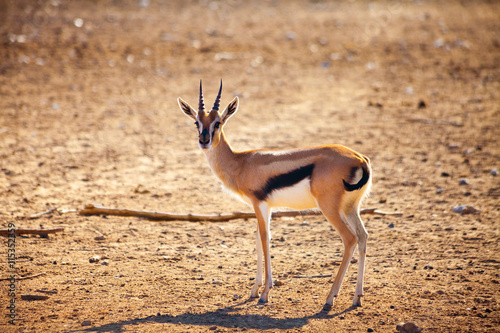 fototapeta na lodówkę Young antelope in prairie