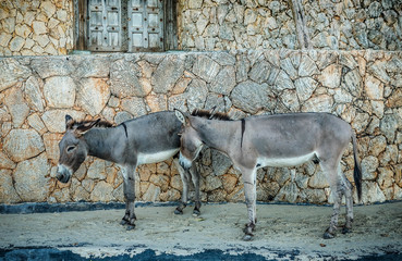 Donkeys being used for transportation of goods on the Lamu Islan