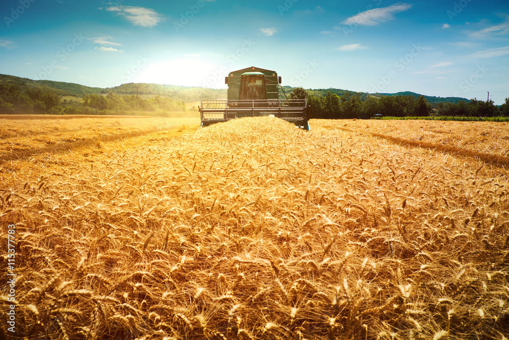 Fototapety, obrazy: Harvester machine to harvest wheat field working