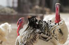 Turkey On Farm