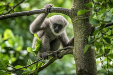 Young Silvery Gibbon
