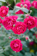 Bush of pink miniature rose in the flower garden, green background and selective focus