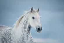 Grey Dappled Horse Winter Portrait