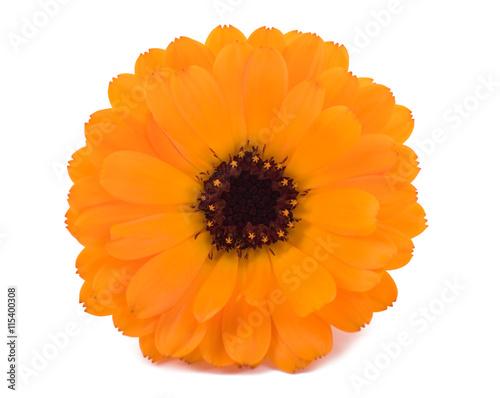 Plakat Marigold (Calendula officinalis)