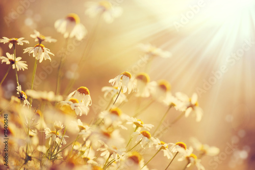 Photo  Beautiful nature scene with blooming chamomiles in sun flares