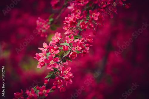 Obraz Kwiaty wiśni - fototapety do salonu
