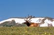Rocky Mountain Bull Elk Lying in the Tundra