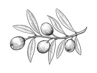 Fototapeta Przyprawy Olive branch engraving style vector