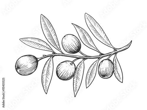 Fotografía  Olive branch engraving style vector
