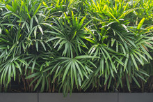Bamboo Palm / Areca Palm Trees In Cement Pot As Background With Bright Sun Light On Top, Low Key Tone