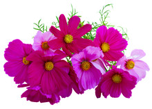 Pile Of Cosmos Pink Flowers Isolated On White Background