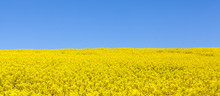 Panorama View Of A Field Of Bright Yellow Rapeseed Or Canola, Brassica Napus, Also Known As Oilseed, Rapaseed And Colza, Horizontal Banner Format
