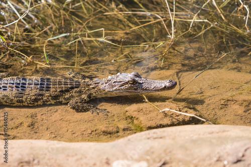 Foto op Plexiglas Krokodil Crocodile farmed in ponds.