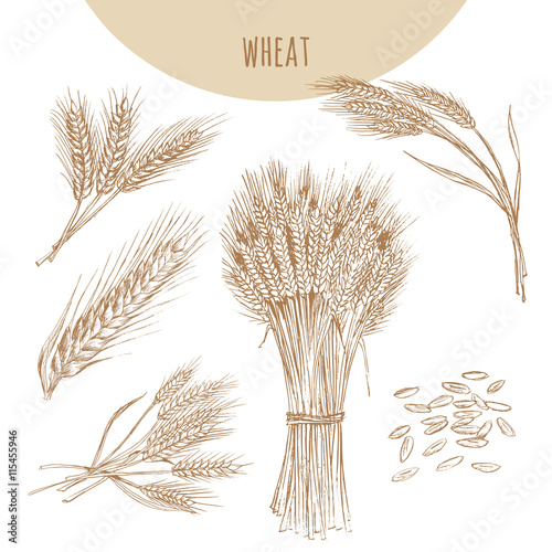 Wheat Ears Sheaf And Grains Cereals Sketch Hand Drawn Drawing