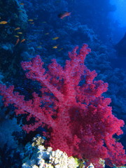 Fototapeta Red soft coral at Habili Ali, St John's reefs, Red Sea, Egypt
