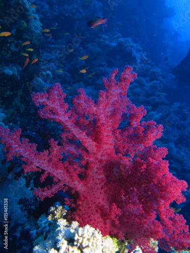 Red soft coral at Habili Ali, St John's reefs, Red Sea, Egypt - 115461338