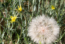 Flowers And Seed Head On Yellow Goatsbeard Or Salsify Plants