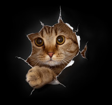Cat In Black Paper Hole. Appro...