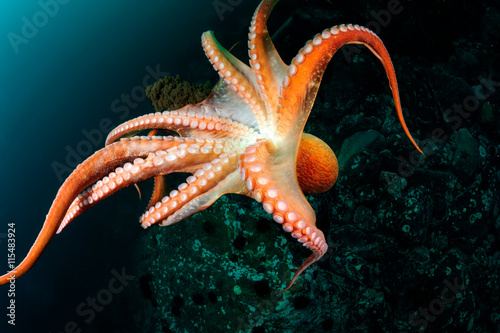 Flight of  giant octopus in the deep. Japan (East) sea