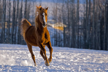 Chestnut Arabian Horse Stallion galloping in snow