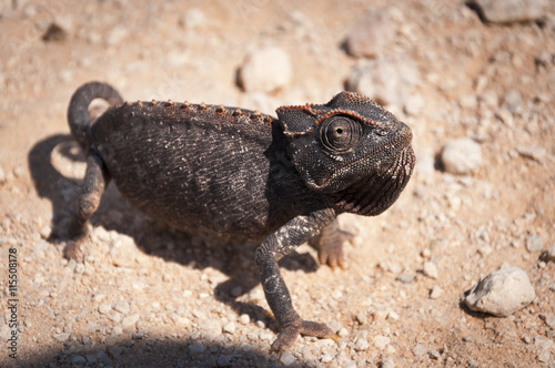 obraz dibond Chameleon in the desert in Namibia, Africa