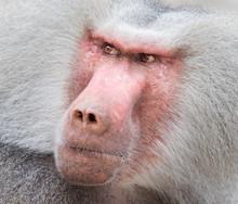 Close Up Portrait Of Male Hamadryas Baboon