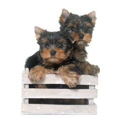 Fototapeta Pies young yorkshire terrier